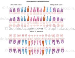 Odontogramme dents permanentes