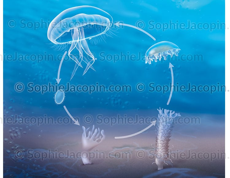 Cycle-vie-meduse-5644