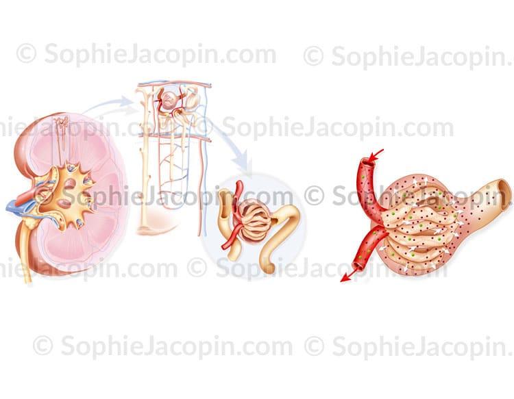 Rein-nephron-glomerule-#5640
