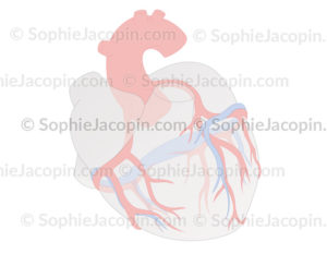 Artères-coranaires-5659