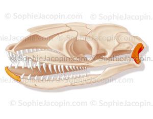 Machoire-serpent-5683