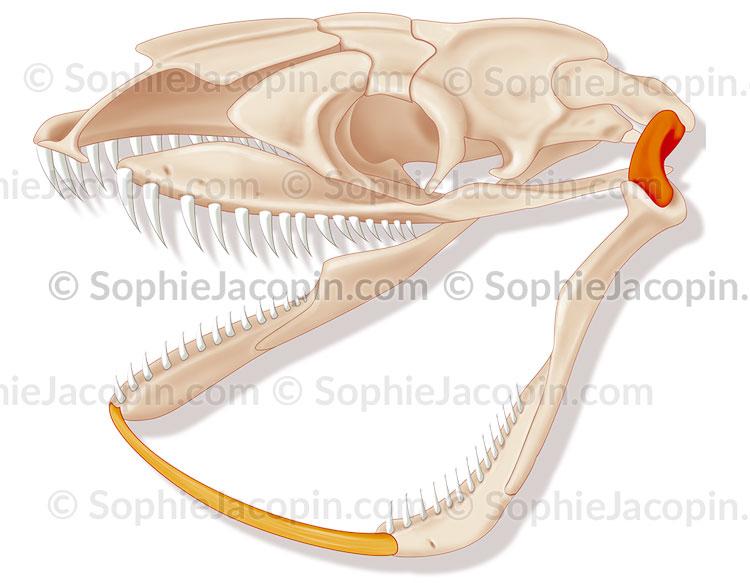 Machoire-serpent-5684