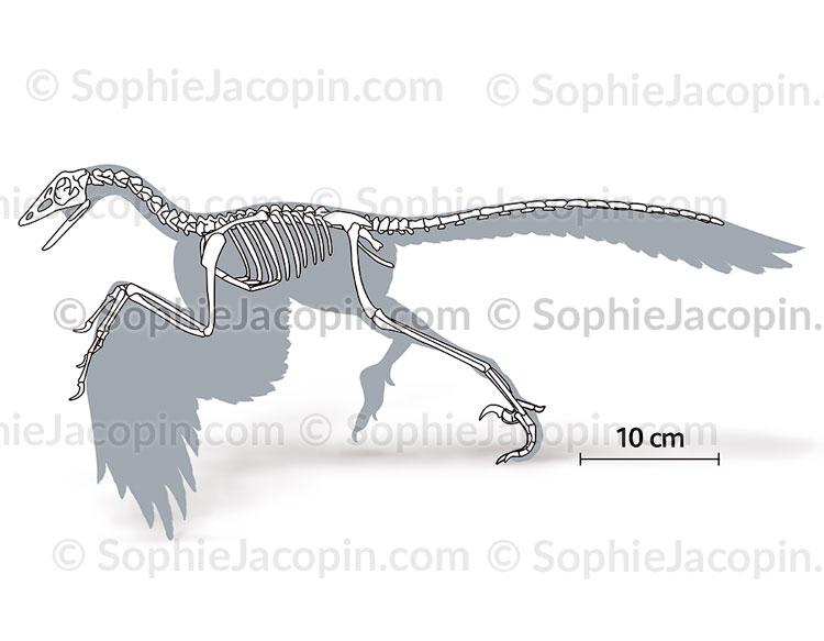 Squelette-archaeopteryx-5691