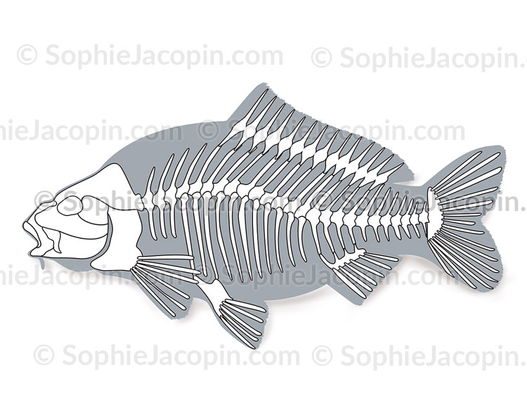 Squelette-carpe-5689