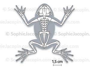 Squelette-grenouille-5687