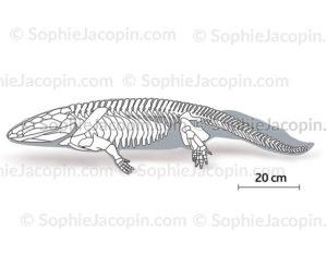 Squelette-ichtyostega-5690