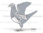 Squelette-pigeon-5686