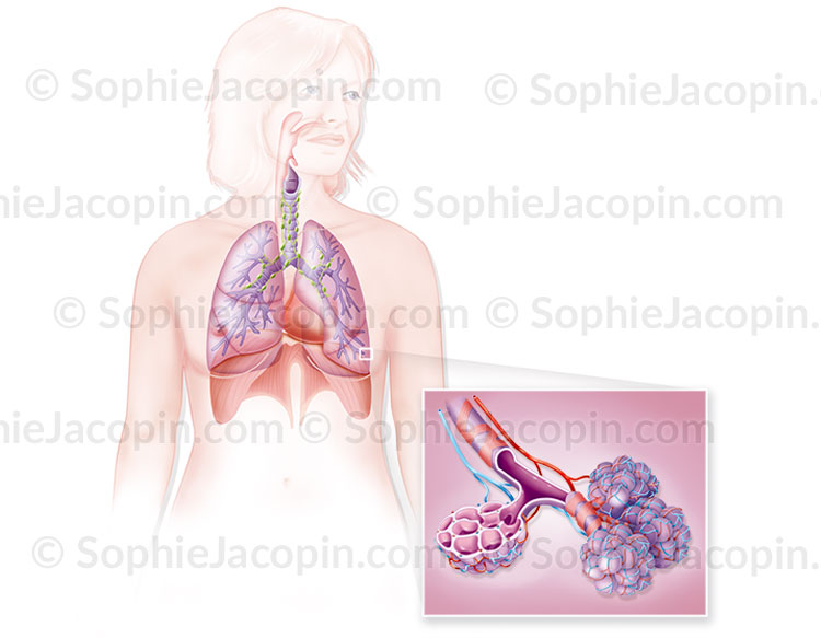 Illustration medicale_Poumons
