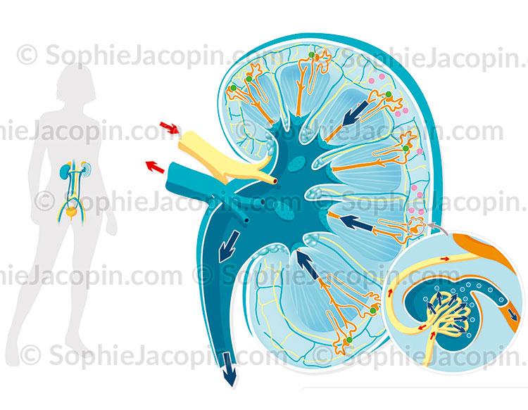 Illustration medicale_Physiologie du rein