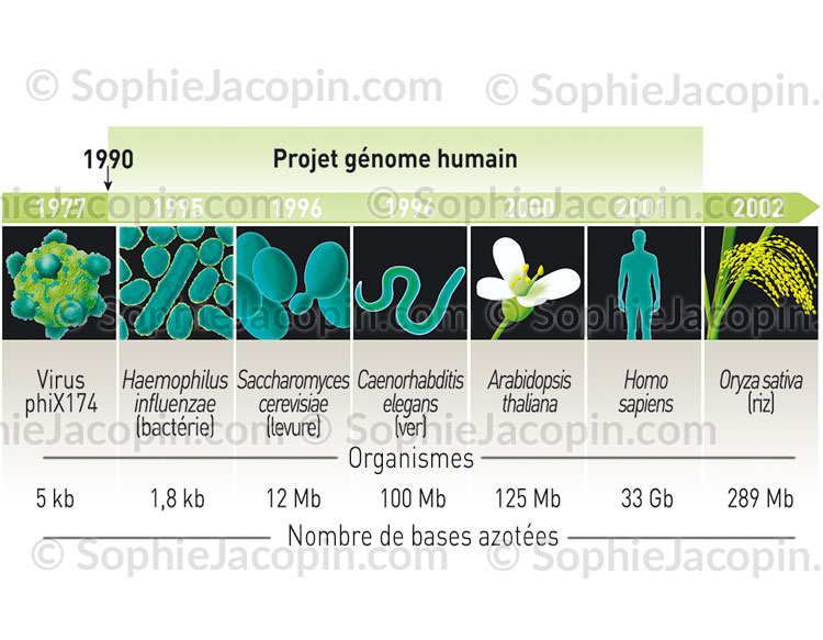 Illustration medicale_Projet génome humain