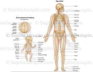 squelette nouveau né-adulte-illustration médicale-© sophie jacopin