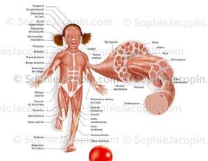 système musculaire enfant-illustration médicale-© sophie jacopin
