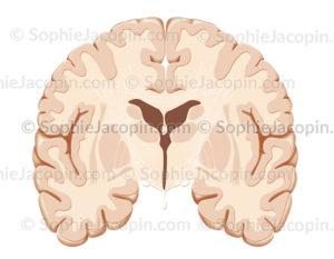 cerveau coupe frontale - © Sophie Jacopin