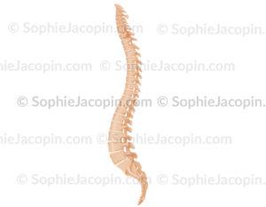 colonne vertebrale profil - © sophie jacopin