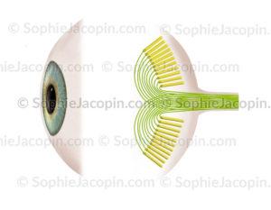 rétine œil humain - © sophie jacopin