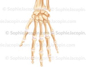 squelette main - © sophie jacopin