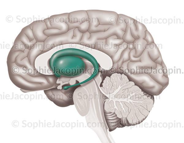 striatum-cerveau- © sophie jacopin