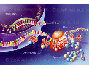 translation mRNA - © sophie jacopin
