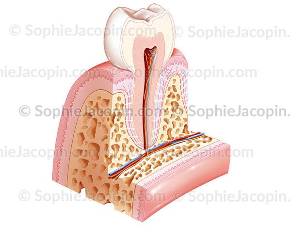 anatomie dent saine - sophie jacopin