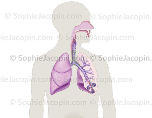 appareil respiratoire - © sophie jacopin