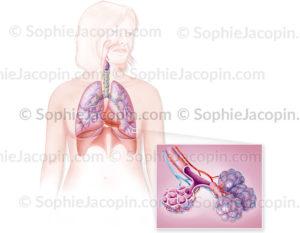 appareil respiratoire alvéoles pulmonaires - © sophie jacopin