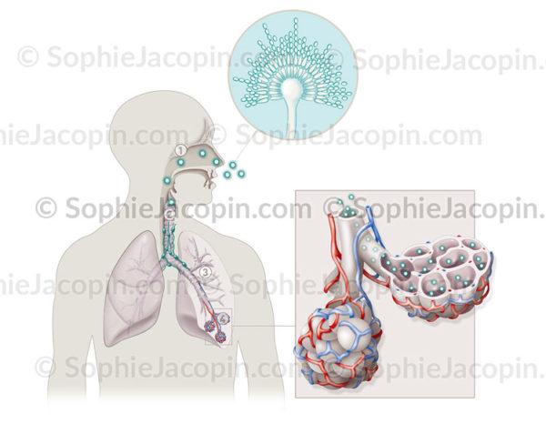 aspergilloses - © sophie jacopin