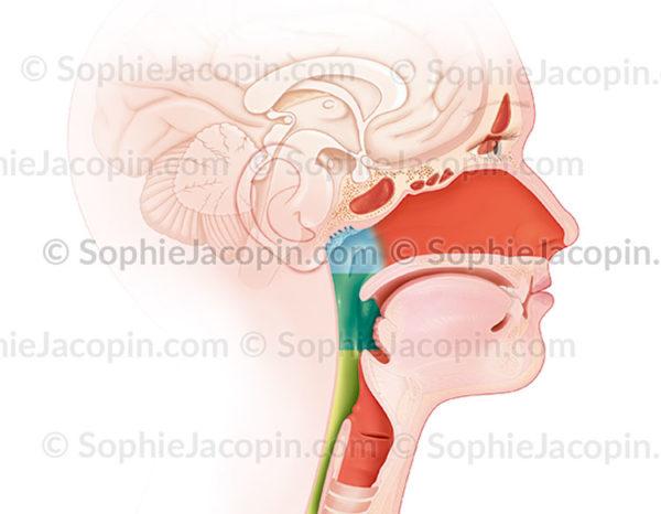 cancers de la sphère ORL - © sophie jacopin