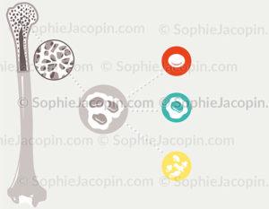 cellules souches hématopoïétiques - © sophie jacopin