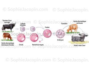 clonage taureau gaur - © sophie Jacopin