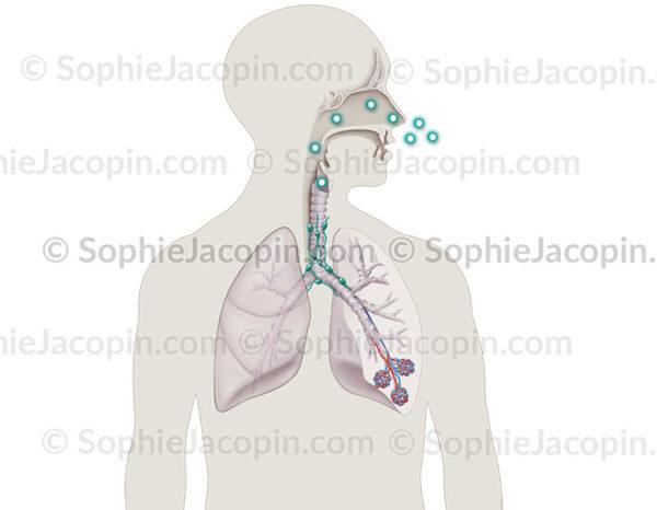 infection aspergillus - © sophie jacopin