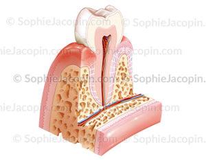 maladie parodontale gingivite - © sophie jacopin