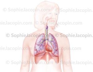 système pulmonaire - © sophie jacopin