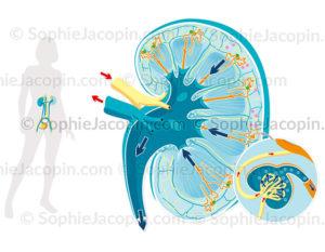 Anatomie et physiologie rénale, système urinaire, rein, glomérule - © Sophie Jacopin