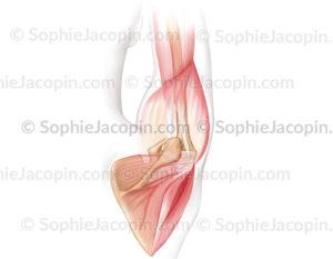 Coiffe des rotateurs, muscle infra-épineux, petit rond, supra-épineux - © Sophie Jacopin