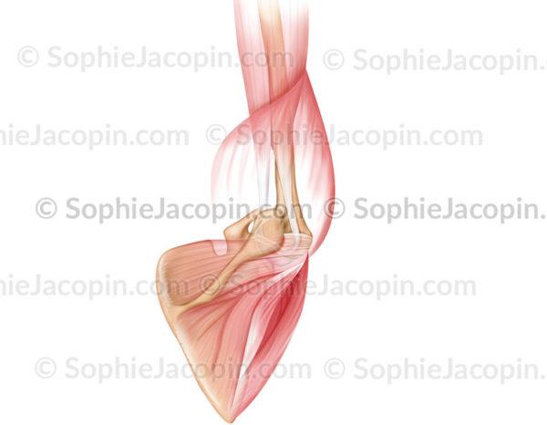 Muscles de l'articulation de l'épaule, coiffe des rotateurs vue postérieure - © Sophie Jacopin