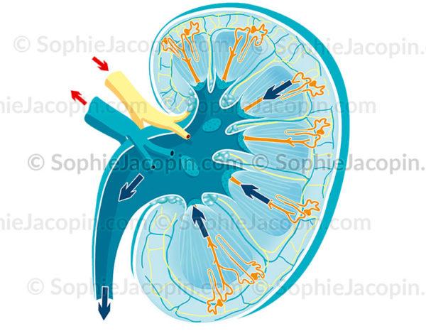 Anatomie du rein et sa physiologie, filtration et production de l'urine - © Sophie Jacopin