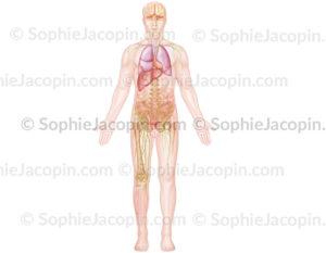 Organes et anatomie chez l'homme, squelette, système lymphatique pelvien - © sophie jacopin