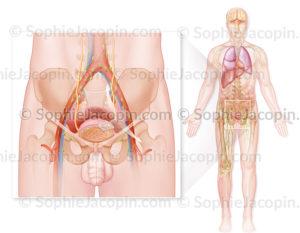 Cancer de la vessie de stade IV chez l'homme, invasion tumorale avec métastases. © sophie jacopin
