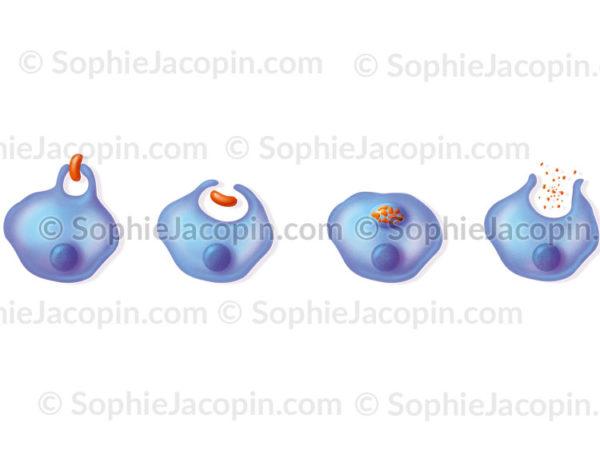 La phagocytose d'un antigène par une cellule dendritique ou un phagocyte - © sophie jacopin