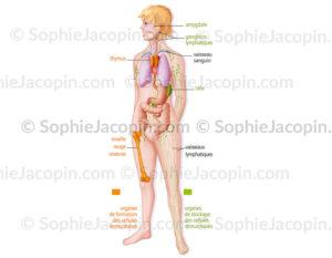 Organes du système immunitaire, formation des cellules immunitaires et organes de stockage - © sophie jacopin