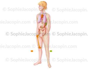 Organes lymphoïdes primaires et secondaires du système immunitaire - © sophie jacopin