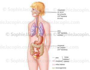 Organisme et micro-organismes, quantité de bactérie et de virus à la surface et à l'intérieur du corps - © sophie jacopin