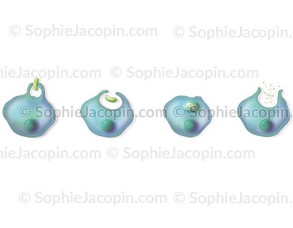 Phagocytose d'un agent pathogène par un phagocyte ou une cellule dendritique - © sophie jacopin