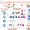 Réactions immunitaires aux virus et bactéries, protection immédiate de l'organisme contre les contaminations et mémoire immunitaire - © sophie jacopin