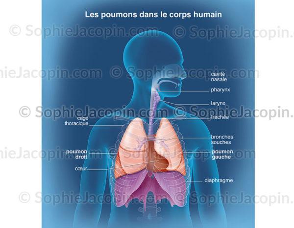 Cage thoracique délimitant les rapports des poumons avec les autres organes dans la cavité thoraciques - © sophie jacopin