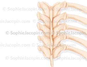 L'angle costo-vertébrale chez l'adulte forme un angle aigu - © sophie jacopin