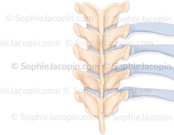 L'angle costo-vertébrale chez l'enfant forme un angle droit - © sophie jacopin