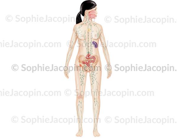 Système lymphatique chez l'adulte, réseau lymphatique, ganglions, organes lymphoïdes - © sophie jacopin