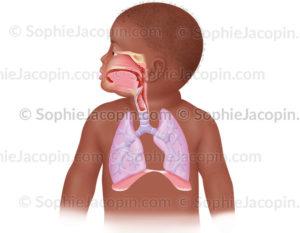 Le système respiratoire chez l'enfant en bas-âge - © sophie jacopin