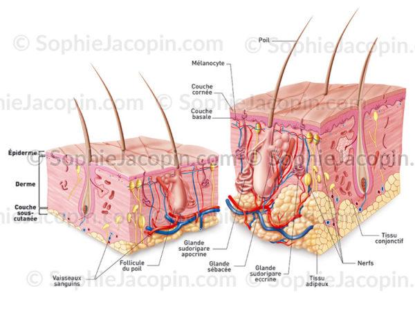 système tégumentaire, comparaison entre une coupe de peau de bébé et celle d'un adulte - © sophie jacopin